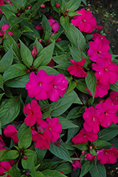 Divine™ Violet New Guinea Impatiens (Impatiens hawkeri 'Divine Violet') at Woldhuis Farms Sunrise Greenhouses