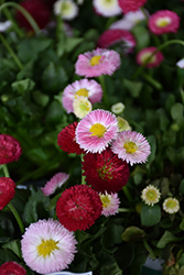 Bellisima Mix English Daisy (Bellis perennis 'Bellissima Mix') at Woldhuis Farms Sunrise Greenhouses