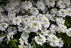 Snowflake Candytuft (Iberis sempervirens 'Snowflake') at Woldhuis Farms Sunrise Greenhouses