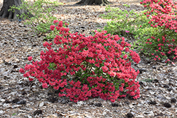 Girard's Crimson Azalea (Rhododendron 'Girard's Crimson') at Woldhuis Farms Sunrise Greenhouses