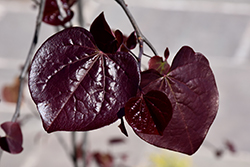 Ruby Falls Redbud (Cercis canadensis 'Ruby Falls') at Woldhuis Farms Sunrise Greenhouses