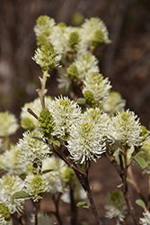 Mt. Airy Fothergilla (Fothergilla major 'Mt. Airy') at Woldhuis Farms Sunrise Greenhouses