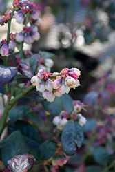 Pink Icing® Blueberry (Vaccinium 'ZF06-079') at Woldhuis Farms Sunrise Greenhouses