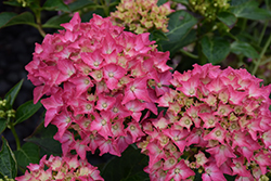 Pink Elf Dwarf Hydrangea (Hydrangea macrophylla 'Pink Elf') at Woldhuis Farms Sunrise Greenhouses