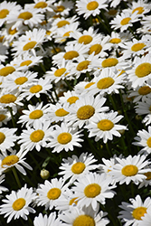 Becky Shasta Daisy (Leucanthemum x superbum 'Becky') at Woldhuis Farms Sunrise Greenhouses