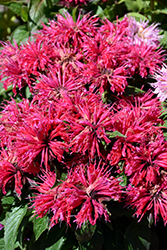 Cherry Pops Beebalm (Monarda 'Cherry Pops') at Woldhuis Farms Sunrise Greenhouses