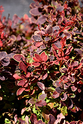 Golden Ruby Barberry (Berberis thunbergii 'Goruzam') at Woldhuis Farms Sunrise Greenhouses
