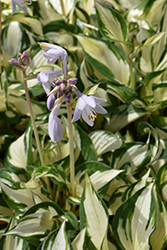 Loyalist Hosta (Hosta 'Loyalist') at Woldhuis Farms Sunrise Greenhouses
