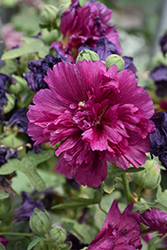 Queeny Purple Hollyhock (Alcea rosea 'Queeny Purple') at Woldhuis Farms Sunrise Greenhouses