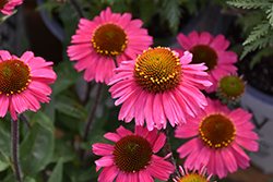 Sensation Pink Coneflower (Echinacea 'Sensation Pink') at Woldhuis Farms Sunrise Greenhouses