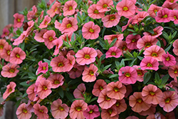 Superbells® Coralina Calibrachoa (Calibrachoa 'Superbells Coralina') at Woldhuis Farms Sunrise Greenhouses