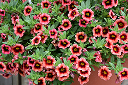 Superbells® Coralberry Punch Calibrachoa (Calibrachoa 'Superbells Coralberry Punch') at Woldhuis Farms Sunrise Greenhouses