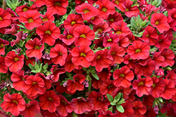 Superbells® Red Calibrachoa (Calibrachoa 'Superbells Red') at Woldhuis Farms Sunrise Greenhouses