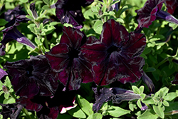 Sophistica Blackberry Petunia (Petunia 'Sophistica Blackberry') at Woldhuis Farms Sunrise Greenhouses