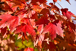 Sun Valley Red Maple (Acer rubrum 'Sun Valley') at Woldhuis Farms Sunrise Greenhouses