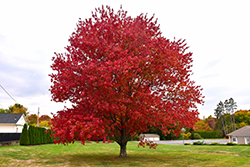 Red Maple (Acer rubrum) at Woldhuis Farms Sunrise Greenhouses