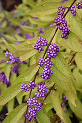 Early Amethyst Beautyberry (Callicarpa dichotoma 'Early Amethyst') at Woldhuis Farms Sunrise Greenhouses