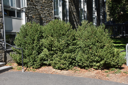 Green Mountain Boxwood (Buxus 'Green Mountain') at Woldhuis Farms Sunrise Greenhouses