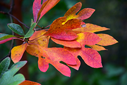 Sassafras (Sassafras albidum) at Woldhuis Farms Sunrise Greenhouses