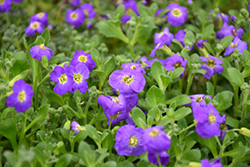 Audrey Deep Blue Shades Rock Cress (Aubrieta 'Audrey Deep Blue Shades') at Woldhuis Farms Sunrise Greenhouses
