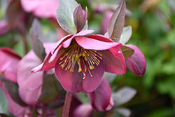 Penny's Pink Hellebore (Helleborus 'Penny's Pink') at Woldhuis Farms Sunrise Greenhouses