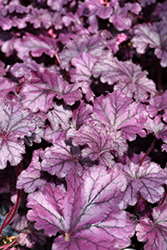 Forever® Purple Coral Bells (Heuchera 'Forever Purple') at Woldhuis Farms Sunrise Greenhouses