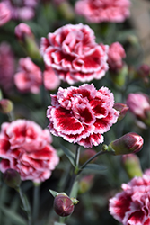 Scent First® Sugar Plum Pinks (Dianthus 'WP IAN04') at Woldhuis Farms Sunrise Greenhouses