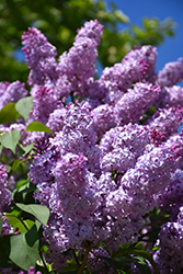 Common Lilac (Syringa vulgaris) at Woldhuis Farms Sunrise Greenhouses