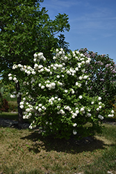 Snowball Viburnum (Viburnum opulus 'Roseum') at Woldhuis Farms Sunrise Greenhouses