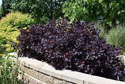 Royal Purple Smokebush (Cotinus coggygria 'Royal Purple') at Woldhuis Farms Sunrise Greenhouses