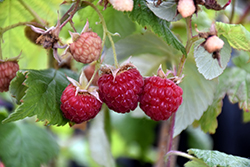 Heritage Raspberry (Rubus 'Heritage') at Woldhuis Farms Sunrise Greenhouses
