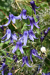 Solitary Clematis (Clematis integrifolia) at Woldhuis Farms Sunrise Greenhouses