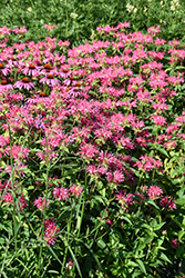 Coral Reef Beebalm (Monarda didyma 'Coral Reef') at Woldhuis Farms Sunrise Greenhouses