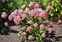 Invincibelle® Ruby Smooth Hydrangea (Hydrangea arborescens 'NCHA3') at Woldhuis Farms Sunrise Greenhouses