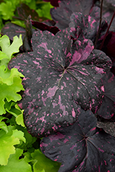 Midnight Rose Coral Bells (Heuchera 'Midnight Rose') at Woldhuis Farms Sunrise Greenhouses