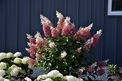 Pinky Winky® Hydrangea (Hydrangea paniculata 'DVPPINKY') at Woldhuis Farms Sunrise Greenhouses