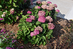 Invincibelle® Mini Mauvette Hydrangea (Hydrangea arborescens 'NCHA7') at Woldhuis Farms Sunrise Greenhouses