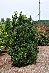 Castle Wall® Meserve Holly (Ilex x meserveae 'Heckenstar') at Woldhuis Farms Sunrise Greenhouses