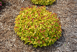Double Play® Candy Corn® Spirea (Spiraea japonica 'NCSX1') at Woldhuis Farms Sunrise Greenhouses