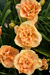 Siloam Peony Display Daylily (Hemerocallis 'Siloam Peony Display') at Woldhuis Farms Sunrise Greenhouses