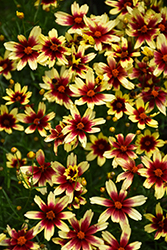 Red Chiffon Tickseed (Coreopsis 'Red Chiffon') at Woldhuis Farms Sunrise Greenhouses