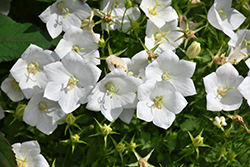 White Clips Bellflower (Campanula carpatica 'White Clips') at Woldhuis Farms Sunrise Greenhouses