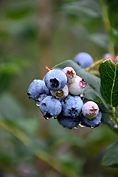 Chippewa Blueberry (Vaccinium 'Chippewa') at Woldhuis Farms Sunrise Greenhouses