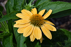 Sombrero® Granada Gold Coneflower (Echinacea 'Balsomold') at Woldhuis Farms Sunrise Greenhouses