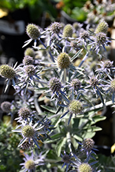 Blue Hobbit Sea Holly (Eryngium planum 'Blue Hobbit') at Woldhuis Farms Sunrise Greenhouses
