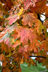 Apollo Sugar Maple (Acer saccharum 'Barrett Cole') at Woldhuis Farms Sunrise Greenhouses