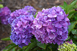 Let's Dance® Rave® Hydrangea (Hydrangea macrophylla 'SMNHMSIGMA') at Woldhuis Farms Sunrise Greenhouses