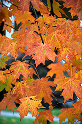 Legacy Sugar Maple (Acer saccharum 'Legacy') at Woldhuis Farms Sunrise Greenhouses