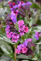 Silver Bouquet Lungwort (Pulmonaria 'Silver Bouquet') at Woldhuis Farms Sunrise Greenhouses