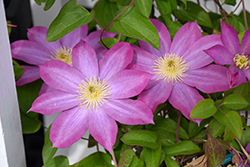 Pink Champagne Clematis (Clematis 'Pink Champagne') at Woldhuis Farms Sunrise Greenhouses